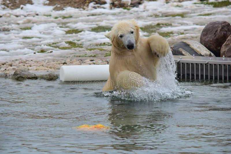 极性熊 免版税库存图片