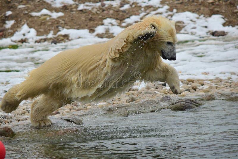 极性熊 免版税库存照片