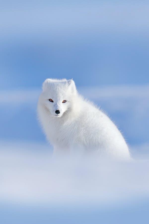 极性狐狸在栖所,冬天风景,斯瓦尔巴特群岛,挪威 在雪的美丽的白色动物 野生生物从自然, V的行动场面 免版税库存图片
