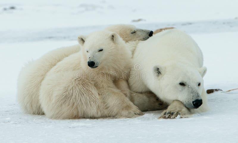 极性的小熊 与两头小小熊的一头极性她熊在雪 免版税库存照片