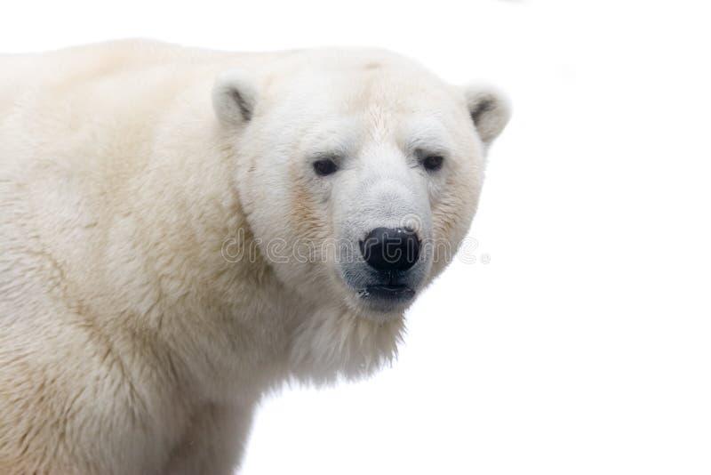 极性的熊 免版税库存照片