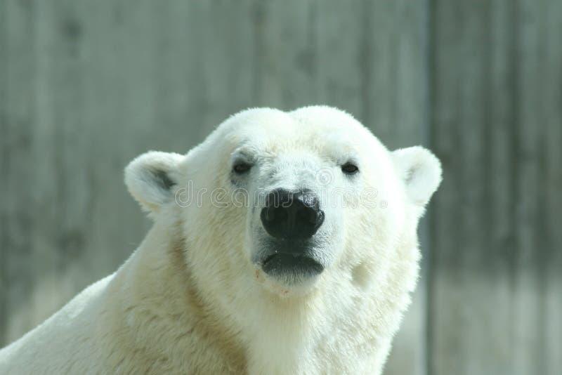 极性的熊 免版税图库摄影
