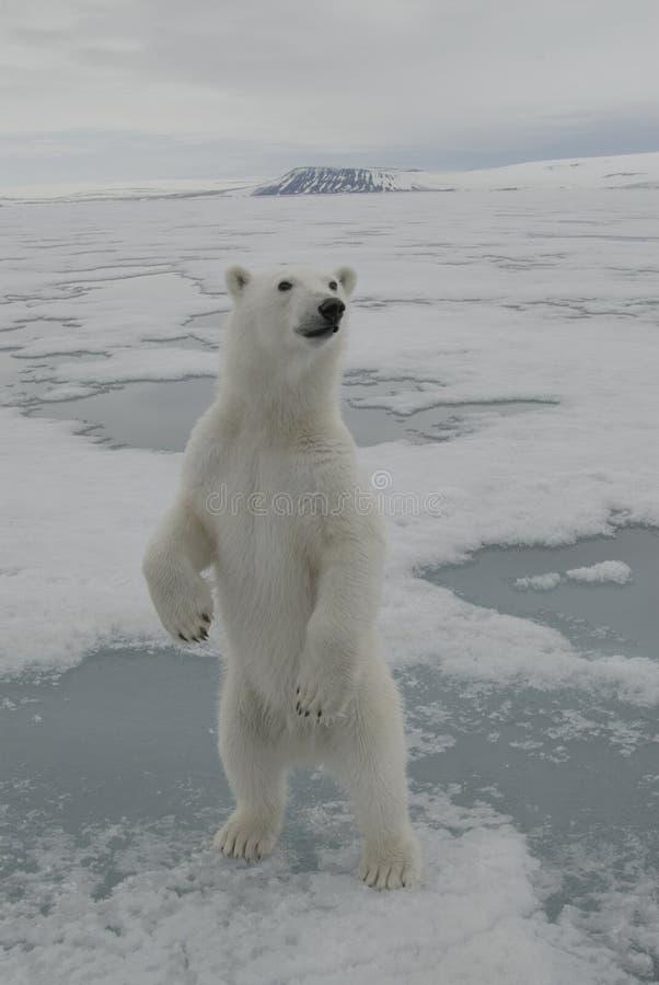 极性的熊 库存图片