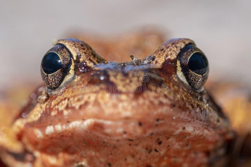 极端关闭一只桔黄色青蛙的面孔 免版税库存图片