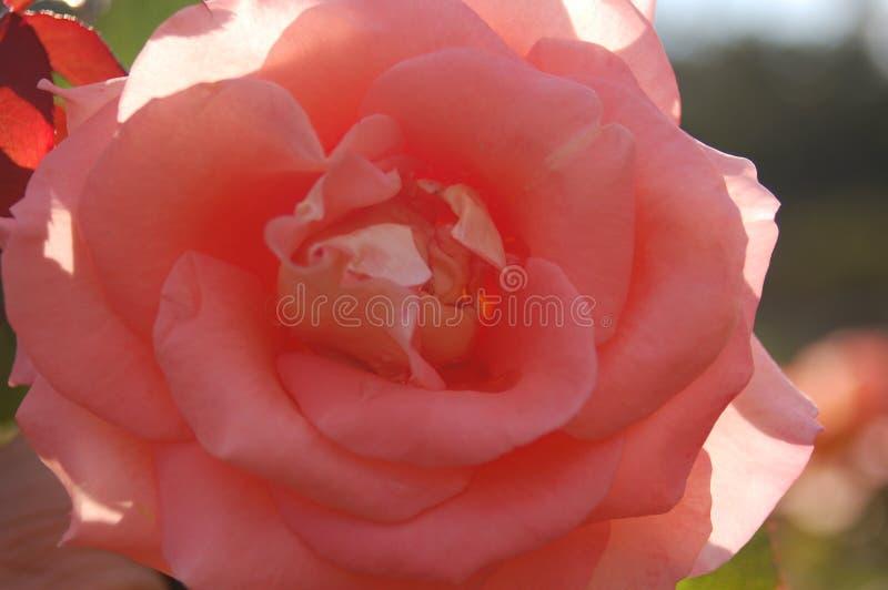 极端关闭在阴影的桃红色花 库存照片