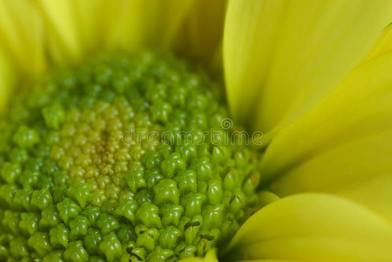 极端关闭黄色和绿色菊花 库存照片