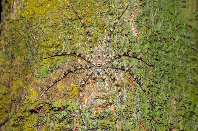 极端和接近的观点的地衣猎人蜘蛛薄肌的Pandercetes 库存照片