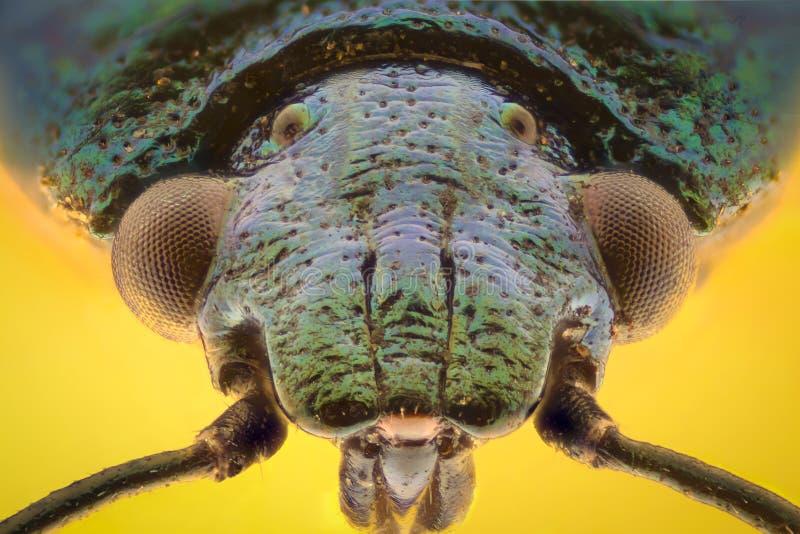 极端放大-蓝色shieldbug, Zicrona Caerulea 库存图片