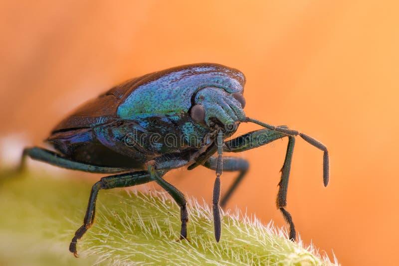 极端放大-蓝色shieldbug, Zicrona Caerulea 免版税图库摄影