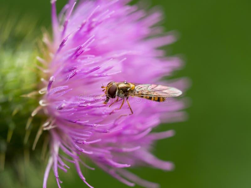 极端特写镜头hoverfly在桃红色蓟 库存图片