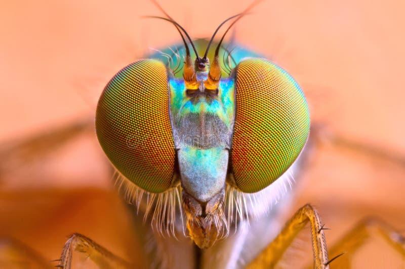 极端被扩大化的长腿的飞行头和眼睛 免版税库存照片