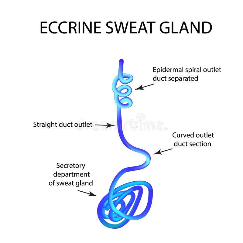 结构外分泌腺的汗腺 Infographics 在背景的传染媒介例证 向量例证