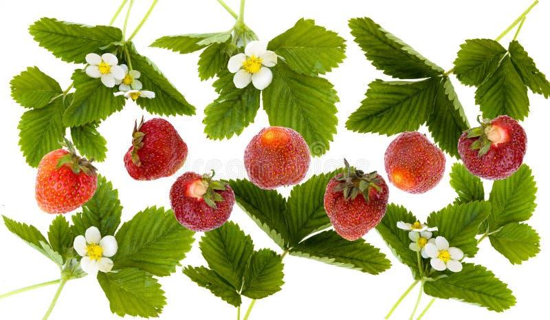 构成开花叶子草莓 免版税库存照片