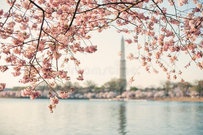 构筑华盛顿纪念碑的樱花树 免版税库存图片