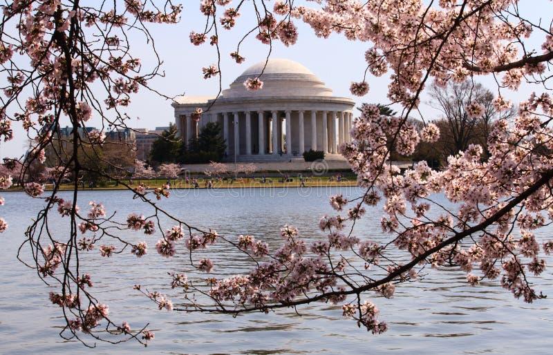 构筑杰斐逊纪念品的樱花 免版税库存图片