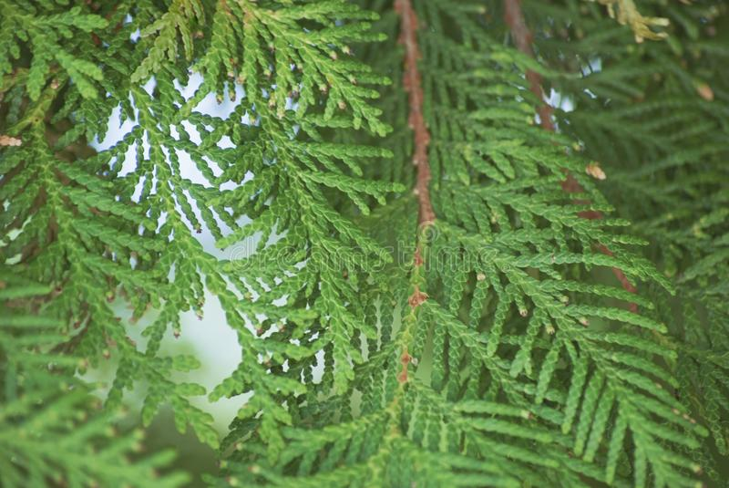 构造绿色叶子金钟柏orientalis或杉树分支背景特写镜头软的焦点的 库存照片