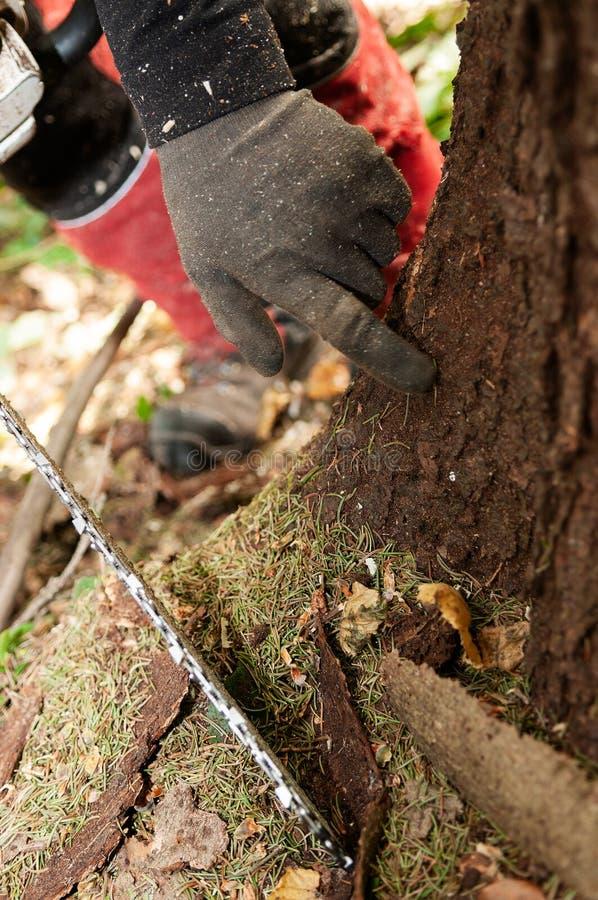 林业指向树皮甲虫损坏的树的工作者的手 库存照片