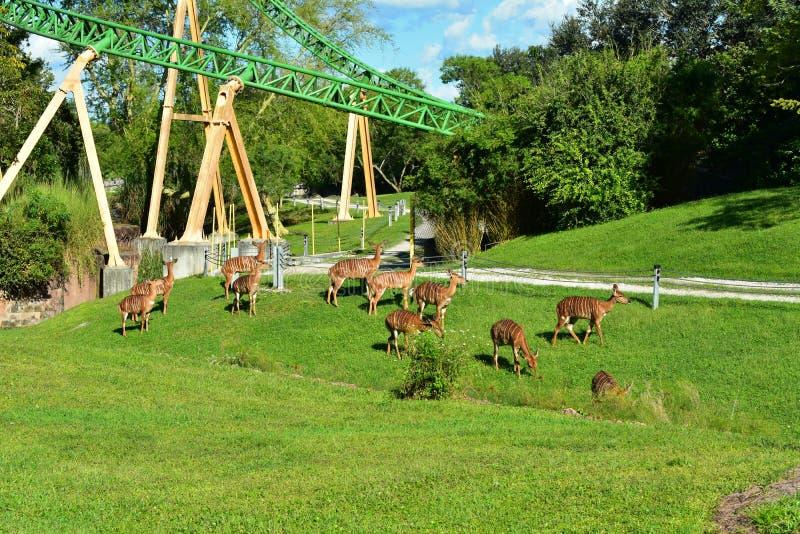 林羚和猎豹狩猎过山车在布什庭院 林羚是一相当大羚羊tha 免版税图库摄影