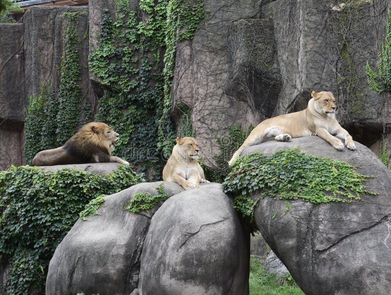 林肯公园动物园自豪感 免版税库存图片