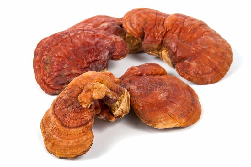 林芝蘑菇Ganoderma Lucidum 库存照片