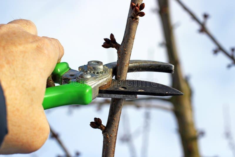 果子修枝剪结构树 免版税库存图片