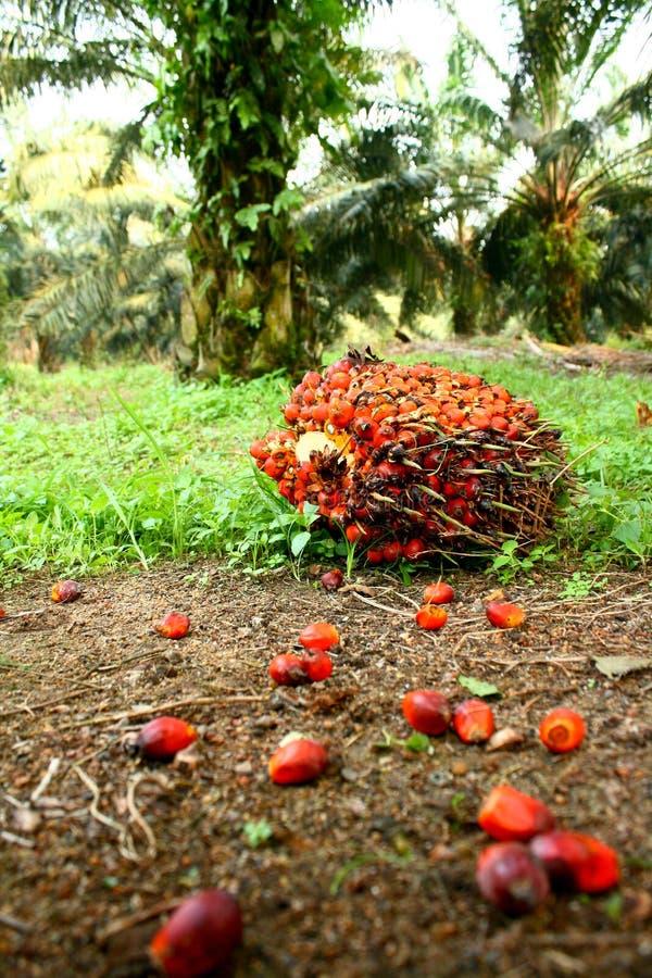 果子油棕榈树 库存照片