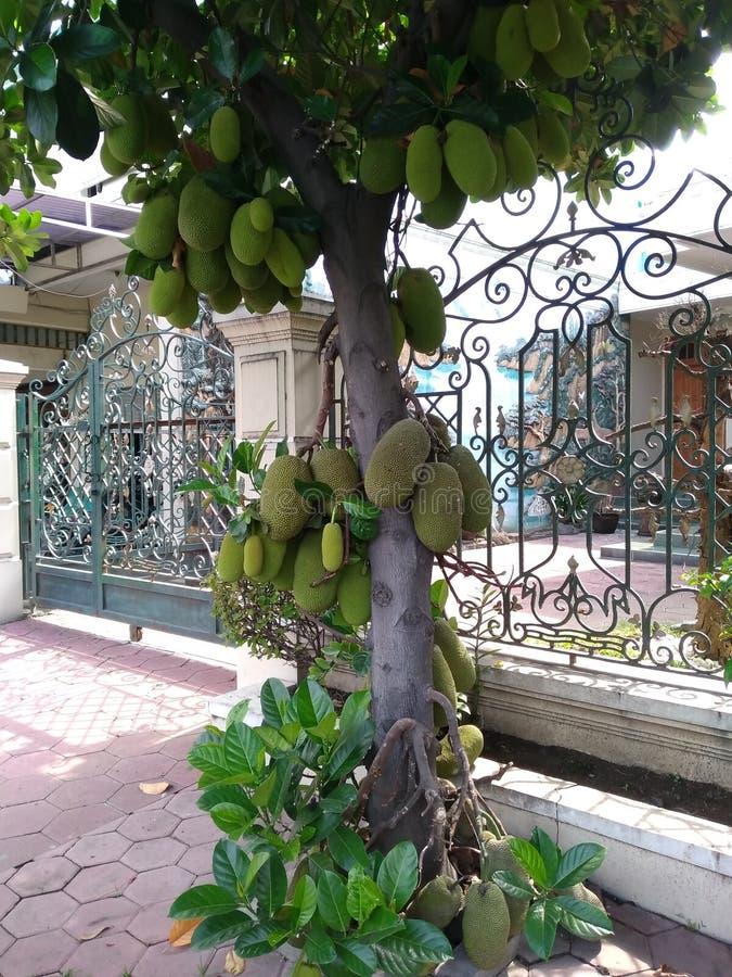 果子波罗蜜cimpedak卓有成效的灌木 库存照片