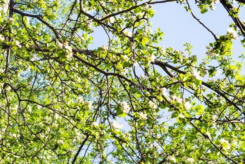 果树交错的分支与开花的 免版税库存图片