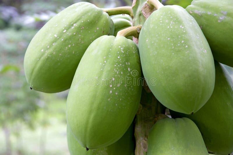 果树园番木瓜 免版税库存照片