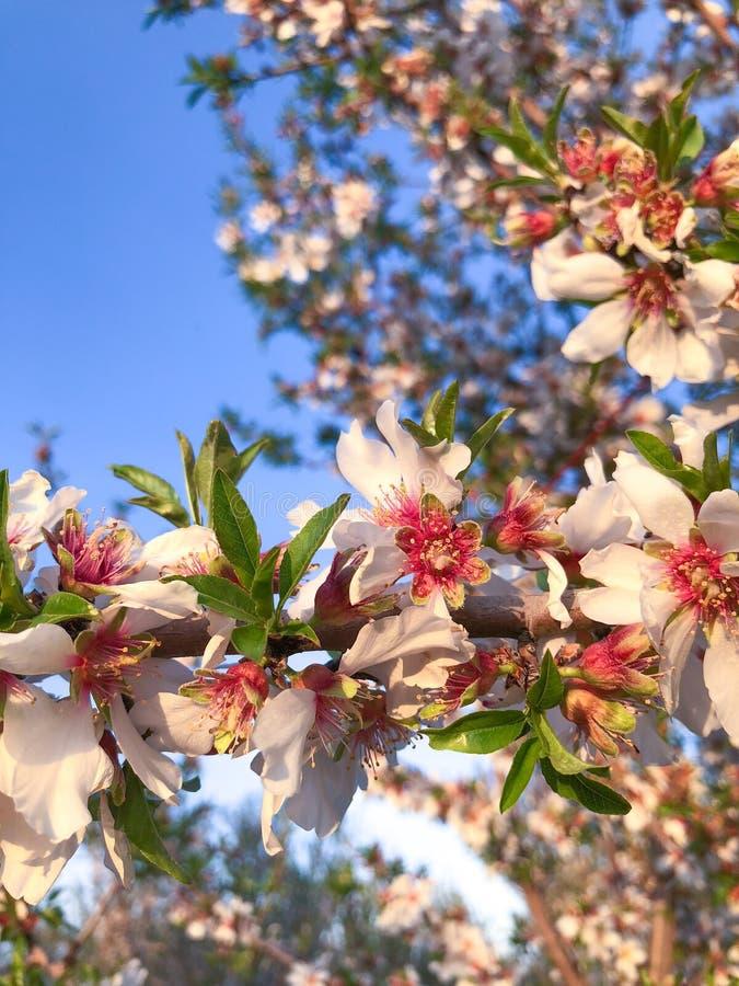 果树园绽放在中央卡利 库存照片