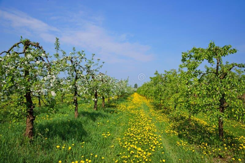 果树园,开花的苹果树 免版税库存照片