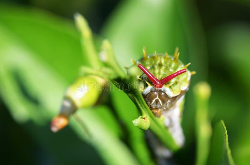 果树园Swallowtail蝴蝶毛虫Papilio  免版税库存图片