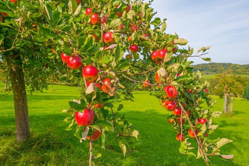 果树在一个果树园在阳光下在秋天 免版税图库摄影