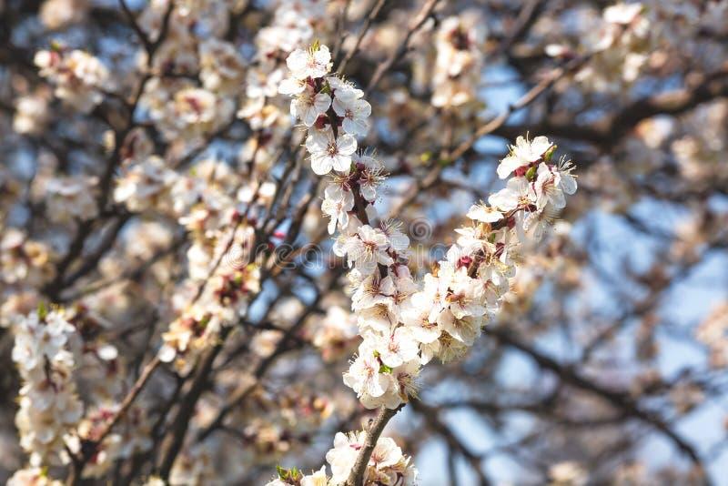 果树开花的分支反对天空蔚蓝的 免版税库存图片