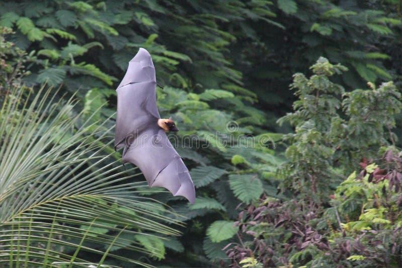 果蝠棒在密林 库存图片