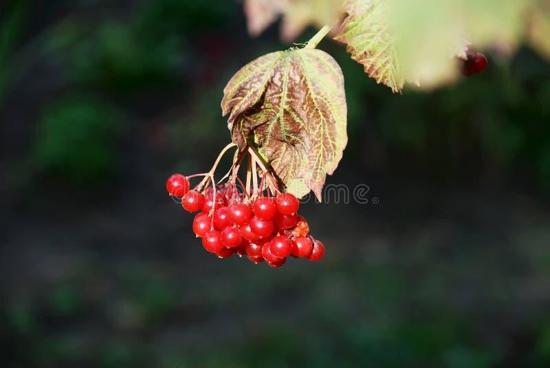 枝杈荚莲属的植物 免版税库存图片