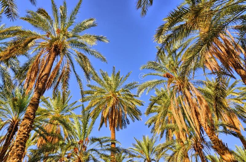 枣椰子在密林, Tamerza绿洲,撒哈拉大沙漠,突尼斯, Af 免版税库存照片