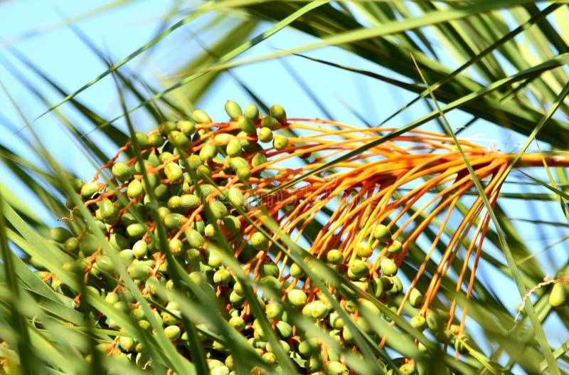 枣椰子果子群有机秀丽 图库摄影