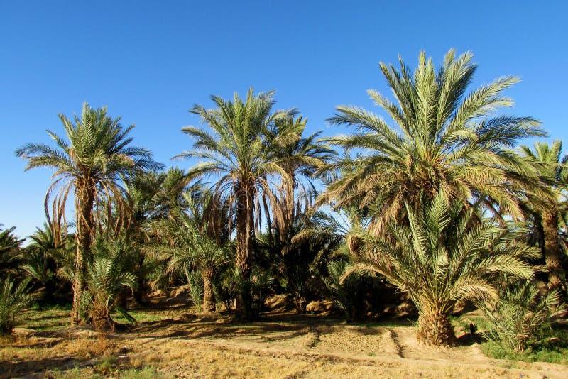 枣椰子树在热带农场 库存图片