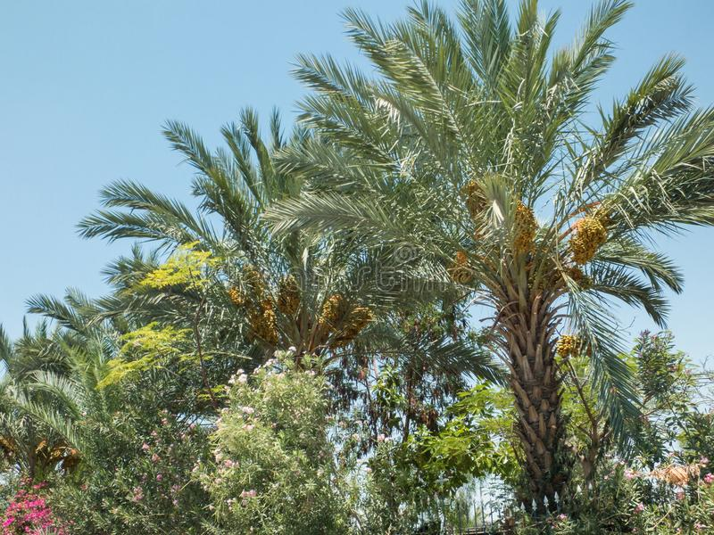 枣椰子树,日期群 图库摄影