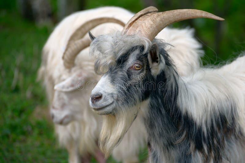 枪口杂色的山羊 免版税库存图片