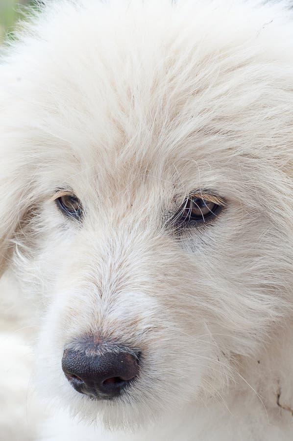 枪口白色小狗特写镜头 免版税库存照片