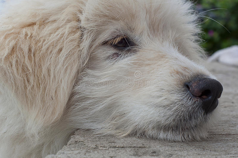 枪口白色小狗特写镜头 图库摄影