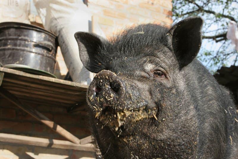 枪口满意的生活被弄脏的黑猪食物 免版税库存照片