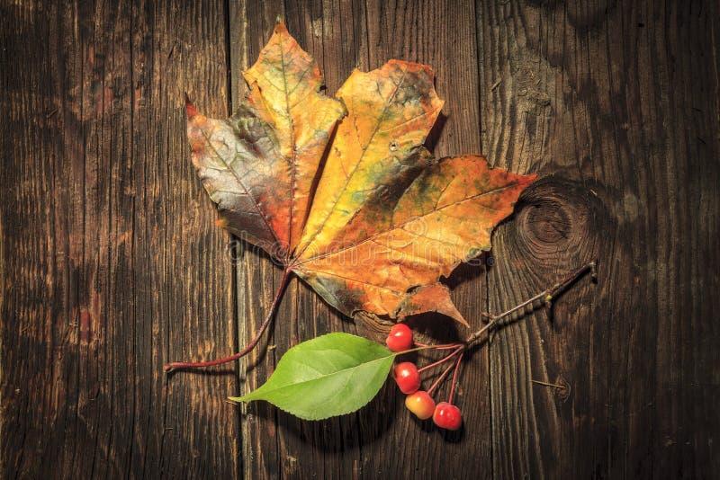 枫叶和crabapples对比  库存图片