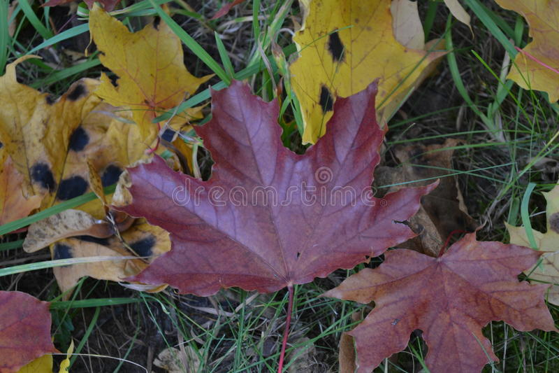枫叶红褐色的颜色在绿草背景的黄色叶子说谎  免版税库存照片