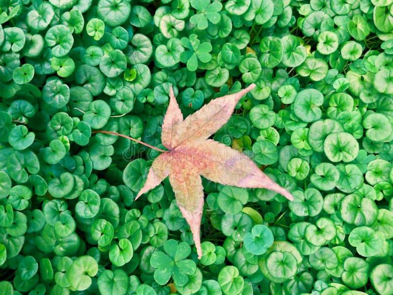 枫叶落对草 库存照片