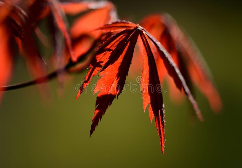 Download 枫叶 库存图片. 图片 包括有 浪漫, 沉寂, 没人, 叶子, brander, 宏指令, 结构树, 阳光 - 30338871
