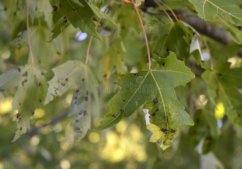 枫树树叶的柏油点 — 不危险,但丑陋 图库摄影