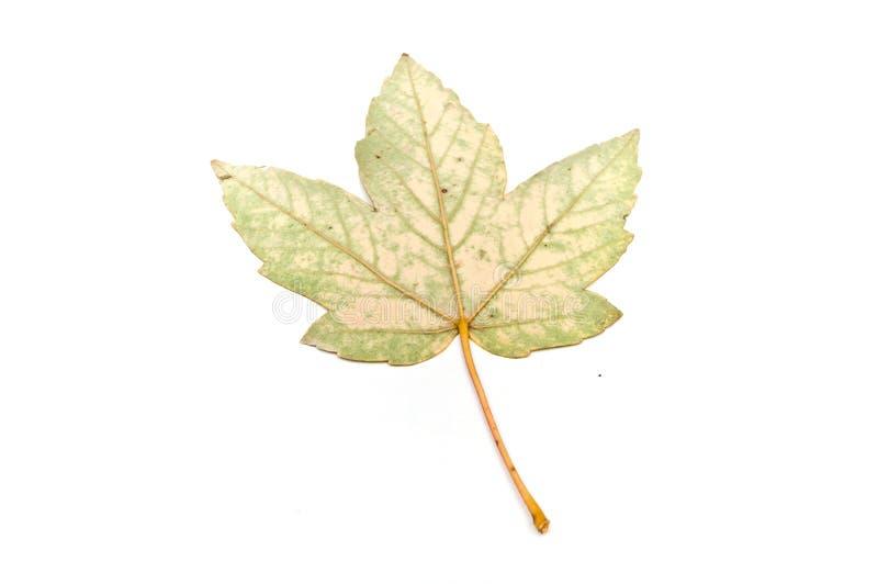 枫树美国梧桐被隔绝的叶子  免版税库存图片